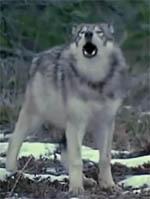 Режим ЧС введен в Якутии из-за нашествия волков